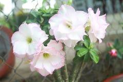 Porcelain flower, in viet nam, beatiful royalty free stock photo