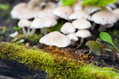 Porcelain fungus, or beech tuft Royalty Free Stock Photography