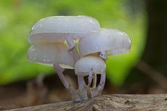 Porcelain Fungus growing on dead wood Royalty Free Stock Photo