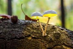 An porcelain fungus Stock Photography