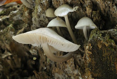 Porcelain Fungus - Oudemansiella mucida Stock Photos