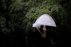 Porcelain fungus (Oudemansiella mucida) Stock Image