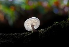 Porcelain fungus, Oudemansiella mucida. Royalty Free Stock Image