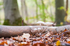 Porcelain fungus (Oudemansiella mucida) Stock Photos