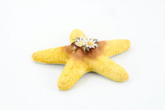 Porcelain sea star. On white background royalty free stock image