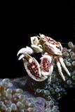 porcelaincrab anemonowy morze Obraz Royalty Free