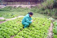 Porcelaine de Shenzhen : légumes grandissants Images libres de droits