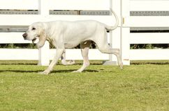 Porcelaine dog Royalty Free Stock Photos