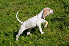 Porcelaine Hound  in the spring garden Royalty Free Stock Photography