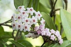 Porcelainflower eller vaxväxt Fotografering för Bildbyråer