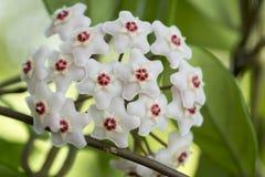 Porcelainflower eller vaxväxt Arkivbilder