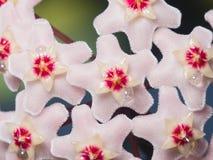 Porcelainflower oder Wachsanlage Hoya Carnosa blüht mit Nektartropfenmakro, selektiver Fokus, flacher DOF stockbild