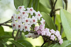 Free Porcelainflower Or Wax Plant Stock Image - 97067241