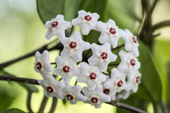 Porcelainflower or wax plant. Hoya carnosa, the porcelainflower or wax plant, is an Asclepiad species in the dogbane family.It is one of the many species of Hoya stock photos