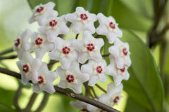 Porcelainflower or wax plant. Hoya carnosa, the porcelainflower or wax plant, is an Asclepiad species in the dogbane family.It is one of the many species of Hoya stock images