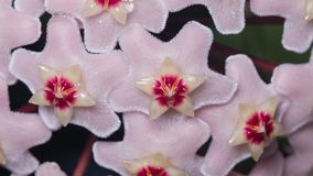 Porcelainflower or wax plant Hoya Carnosa flowers with nectar drops macro, selective focus, shallow DOF.  royalty free stock photography