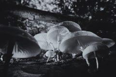 Porcelana grzyb - czarny i biały zdjęcie stock