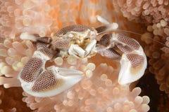 Porcelana krab zdjęcie royalty free