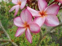 Porcelana kwiat, Chi Dai, fotografia stock