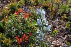 Porcelana ou orquídea do mosaico, magellanica do chloraea, o Chile imagens de stock royalty free