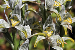 Porcelana ou orquídea do mosaico, magellanica do chloraea, o Chile foto de stock