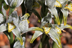 Porcelana ou orquídea do mosaico, magellanica do chloraea, o Chile fotografia de stock