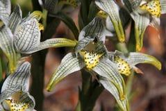 Porcelana ou orquídea do mosaico, magellanica do chloraea, o Chile imagens de stock