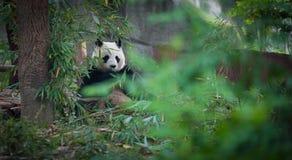 Porcelanowa panda Zdjęcia Stock