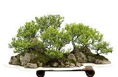 Porcelanowi bonsai Zdjęcie Stock