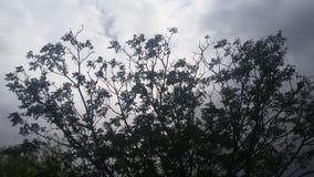 Porcelanowy Jagodowy drzewo zdjęcie royalty free