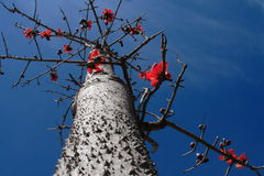 Porcelanowy Panzhihua drzewo Obrazy Royalty Free