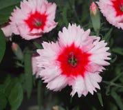 Porcelanowy różowi Obraz Royalty Free