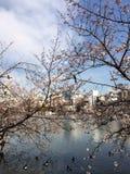 porcelanowy Sakura sezonu Shanghai tongji uniwersytet Zdjęcia Royalty Free