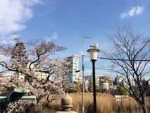 porcelanowy Sakura sezonu Shanghai tongji uniwersytet Zdjęcia Stock