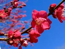 porcelanowy Sakura sezonu Shanghai tongji uniwersytet Fotografia Royalty Free