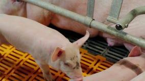 Porcelet à une ferme de porc industrielle moderne clips vidéos