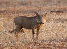 Porcelet de Warthog restant dans l'herbe sèche Image libre de droits
