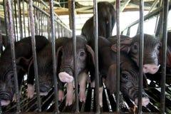 Porcelet noir dans l'agriculture de porc Image stock