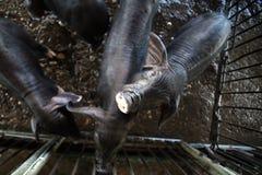Porcelet noir dans l'agriculture de porc Images stock