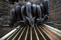 Porcelet noir dans l'agriculture de porc Photo stock