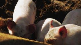 Porcelets affamés suçant la truie à la ferme Petit porcelet suçant la mère sur un plan rapproché de ferme clips vidéos