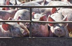 Porcelets dans le stylo de porc Image libre de droits