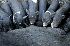Porcelets ibériens noirs d'allaitement Images stock