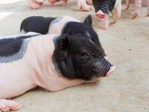 Porcelets nouveau-nés de rose et de noir regardant et regardant fixement dans la ferme Image libre de droits