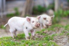 Porcelets sur l'herbe verte de ressort à une ferme Photographie stock