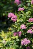 Porcellana soleggiata di estate dei bei fiori immagini stock libere da diritti