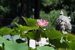 Porcellana soleggiata di estate del fiore di Lotus fotografia stock
