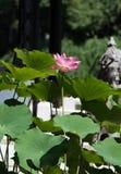Porcellana soleggiata di estate del fiore di Lotus fotografia stock libera da diritti
