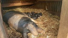 Porcellini britannici neonati della sella anticlinale con la loro mamma immagini stock libere da diritti