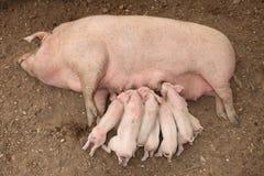 Porcellini che allattano Fotografie Stock